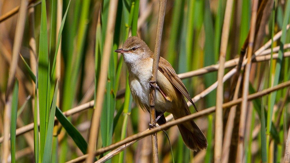 Great Reed Warbler Song Call Voice Sound