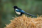 common-magpie