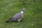 common-wood-pigeon