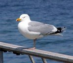 european-herring-gull