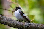 european-pied-flycatcher
