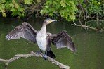 great-cormorant