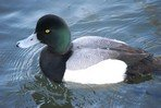 greater-scaup