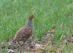 grey-partridge