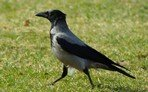 hooded-crow