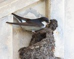 northern-house-martin