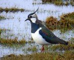 northern-lapwing