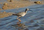 spotted-redshank