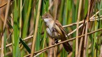 -great-reed-warbler
