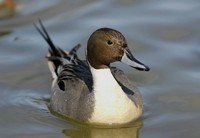 -northern-pintail