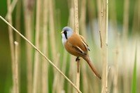 bearded-parrotbill