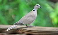 collared-dove