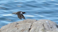 common-murre