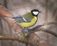 eurasian-great-tit