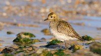 european-golden-plover