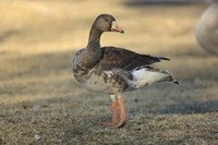 greater-white-fronted-goose