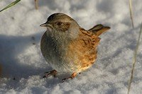 hedge-accentor