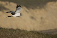 hen-harrier