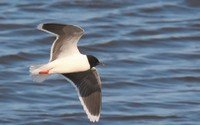little-gull