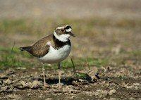 little-ringed-plover