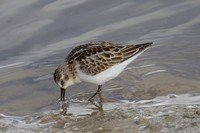little-stint