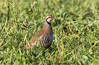 red-legged-partridge