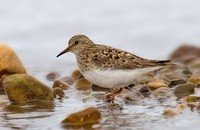 temmincks-stint