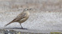 water-pipit
