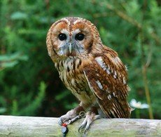 Tawny Owl Song Call Voice Sound