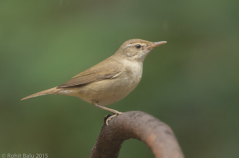 Blyth S Reed Warbler Song Call Voice Sound