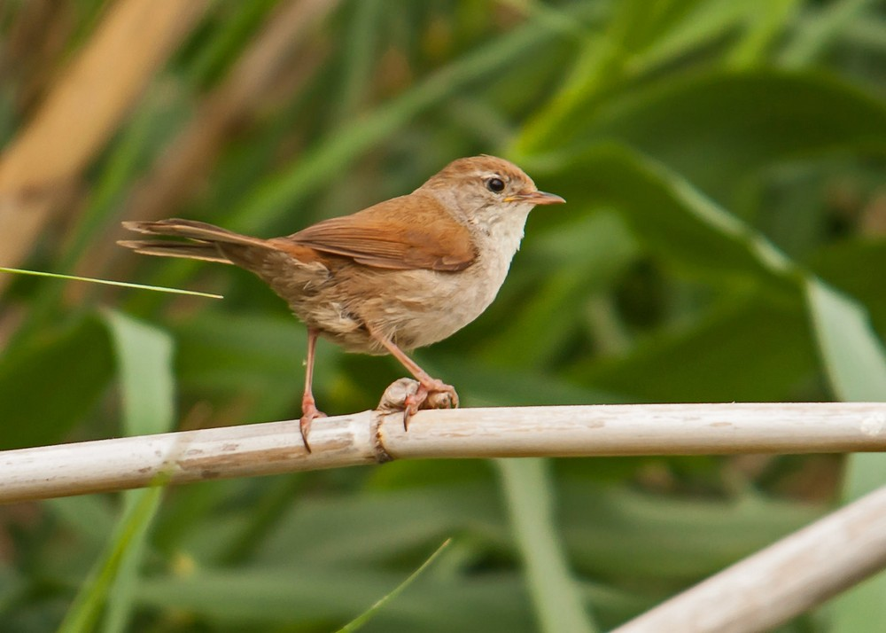 cettis warbler song