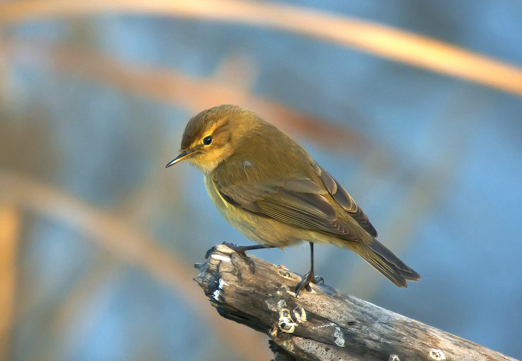 Chiffchaff - song / call / voice / sound.