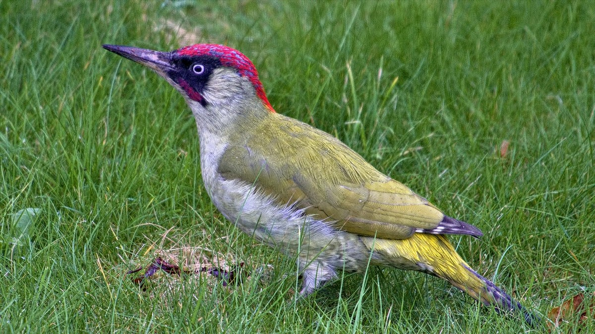 Green Woodpecker Song Call Voice Sound