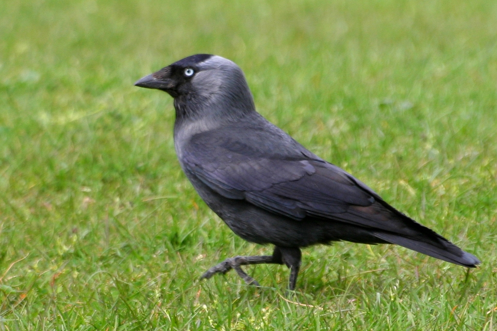 Jackdaw - song / call / voice / sound. Jay Z