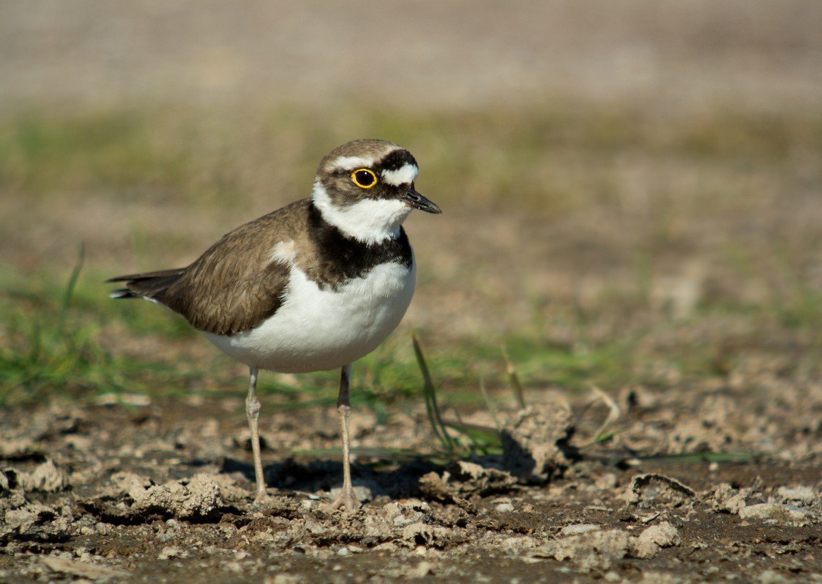 Little Ringed Plover Uk