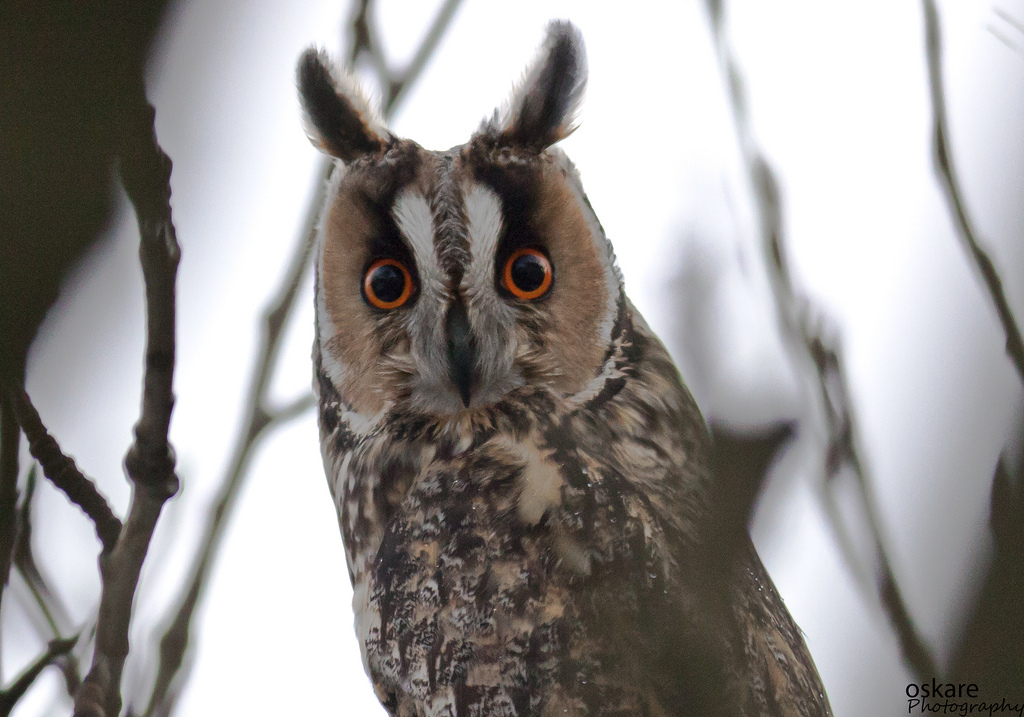 Long Eared Owl Song Call Voice Sound