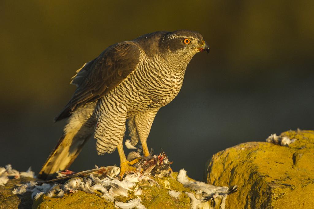 Hawks Deutsch