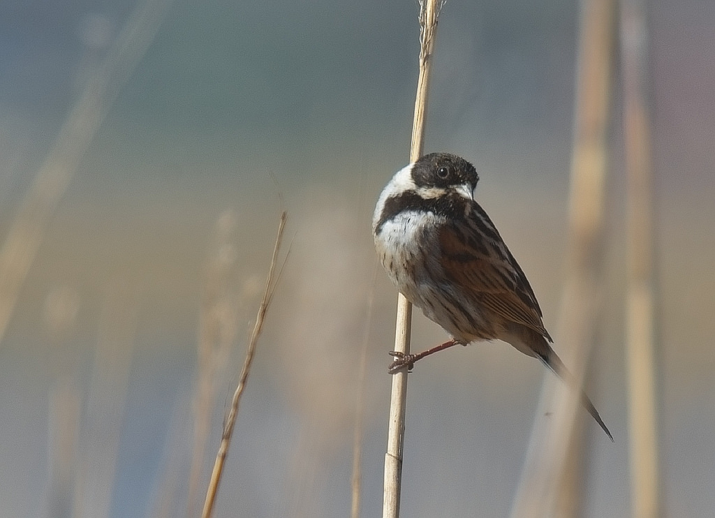 Reed Bunting Song Call Voice Sound