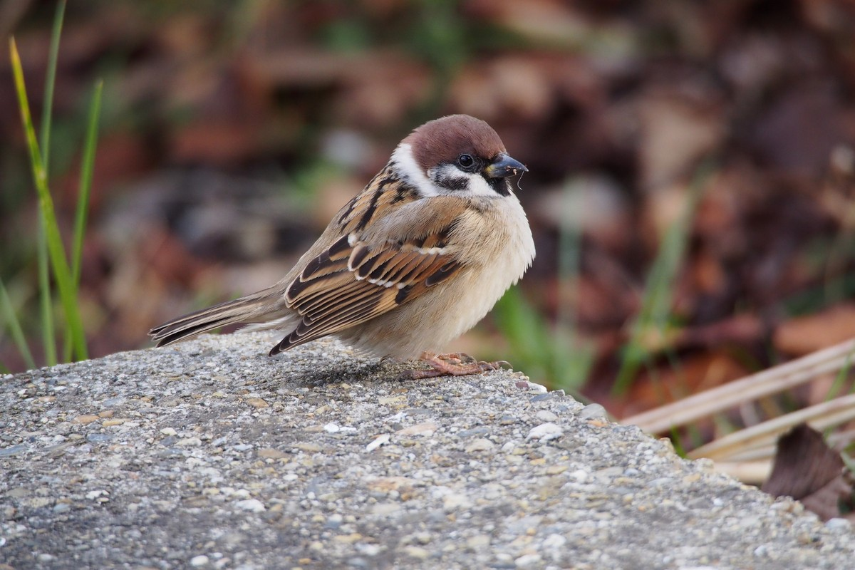 Tree Sparrow - song / call / voice / sound.