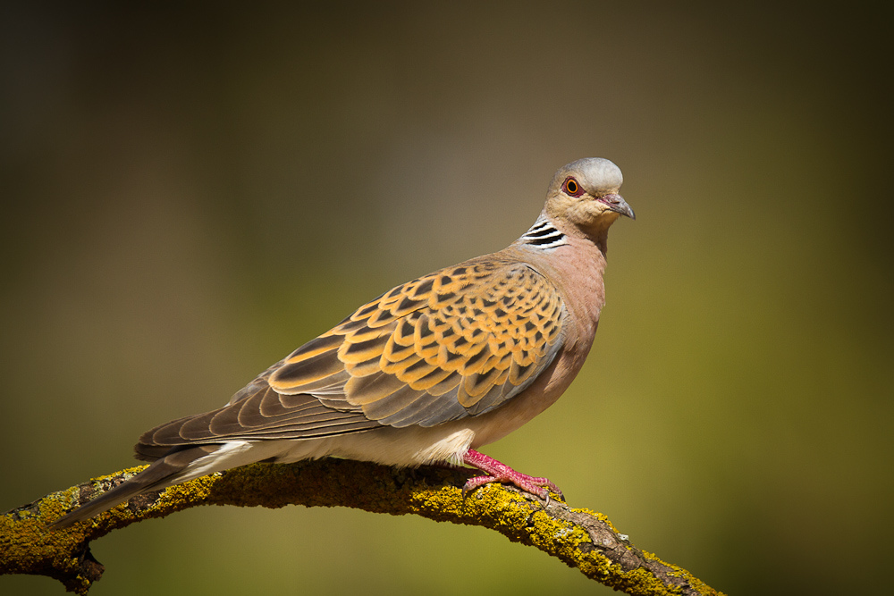 Turtle Dove Song Call Voice Sound